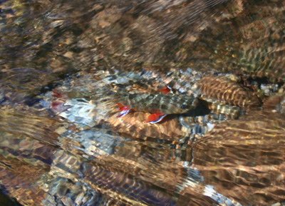 Great Smoky Mountain Brook Trout (photo courtesy of R&R Fly Fishing)